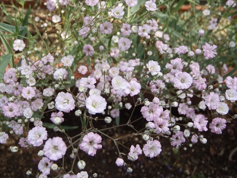 Gypsophila_paniculata-Pink2-2018.jpg