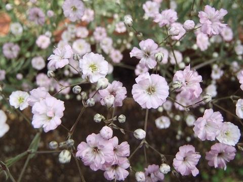 Gypsophila_paniculata-Pink3-2018.jpg