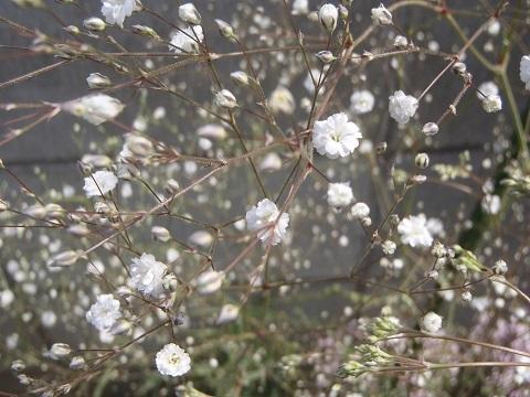 Gypsophila_paniculata-White1-2018.jpg