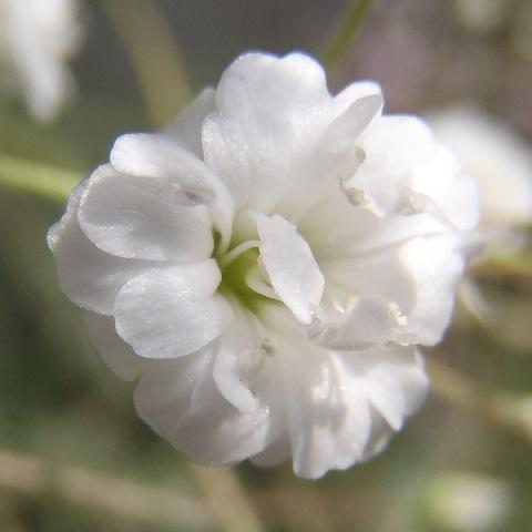 Gypsophila_paniculata-White2-2018.jpg