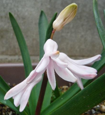Hyacinthus-PalePink1-2019.jpg