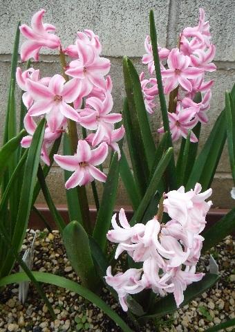 Hyacinthus-Pink4-2019.jpg