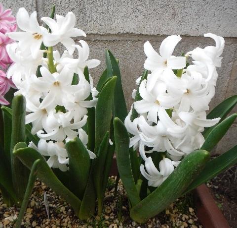 Hyacinthus-White4-2019.jpg