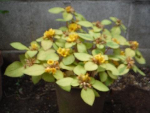 Lysimachia_congestiflora_Lyssii3-2019.jpg