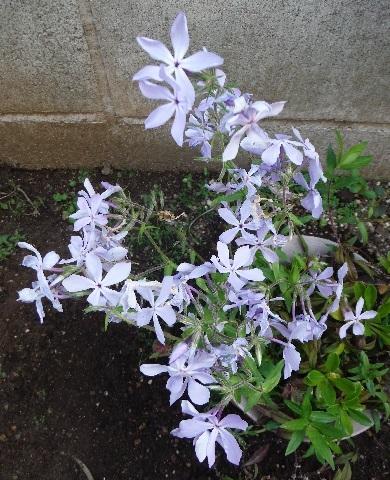 Phlox_divaricata_Blue_Perfume2-2019.jpg