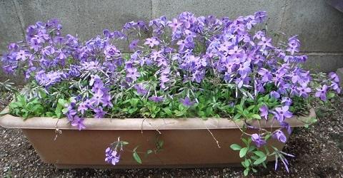 Tsuruhanashinobu-Sherwood-purple2-2019.jpg