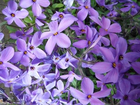 Tsuruhanashinobu-Sherwood-purple4-2019.jpg
