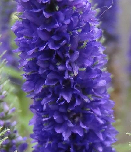 Veronica-spicata-Ulster_Blue_Dwarf3-2019.jpg