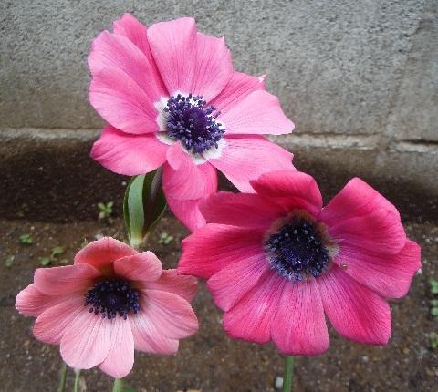 anemone_ful_pink1-2019.jpg