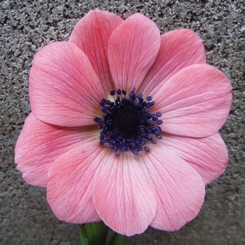 anemone_ful_pink5-2019.jpg