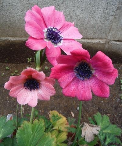anemone_ful_pink6-2019.jpg