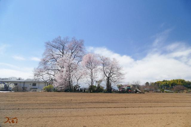 20190401おかめ桜17