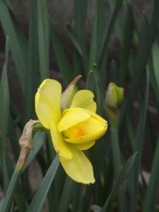 黄色にオレンジの水仙
