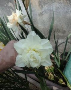 白に白の水仙
