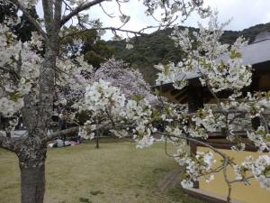 桜とは違う