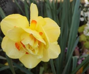 八重の黄色の水仙