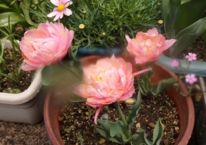 八重のピンクのチューリップ