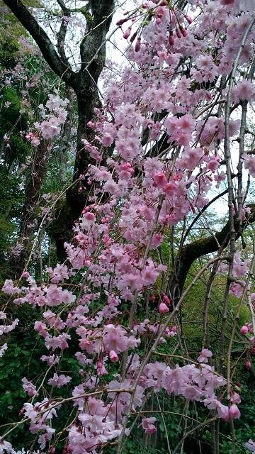 桜20195