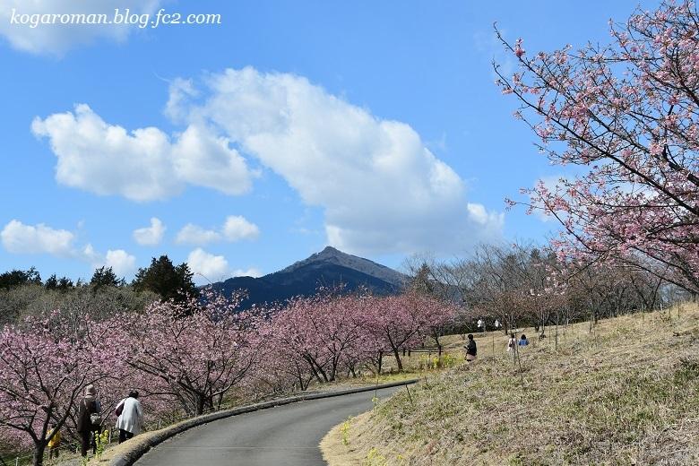 フラワーパークの河津桜