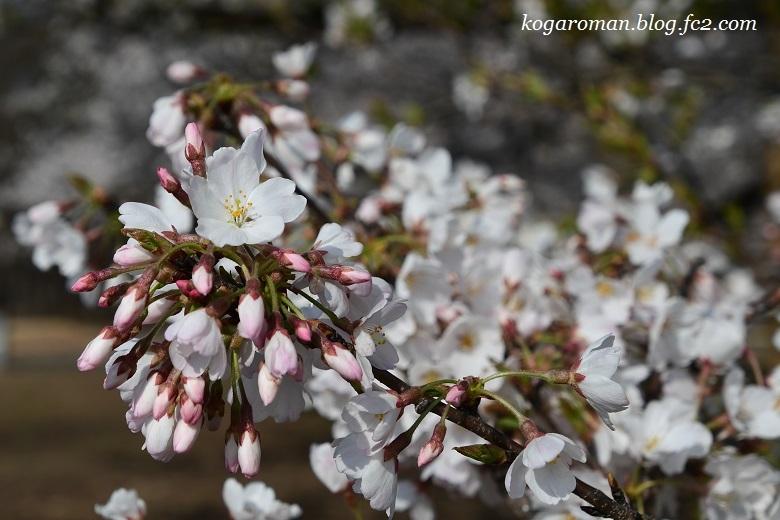 天平の丘公園の淡墨桜2
