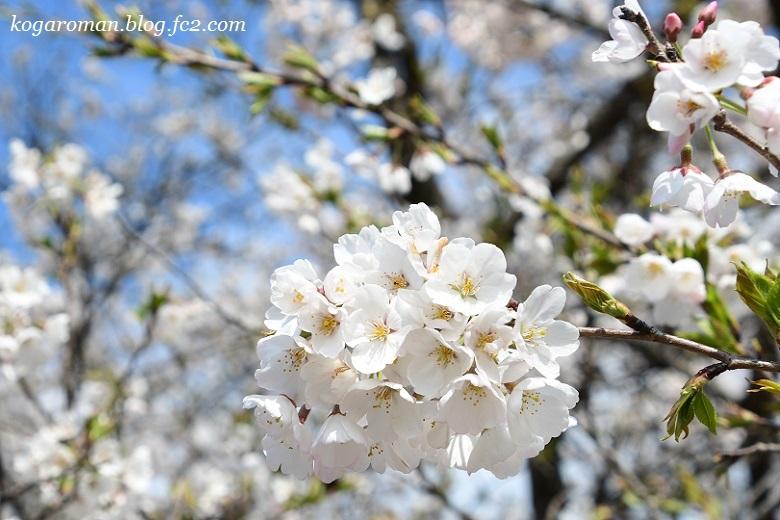 天平の丘公園の淡墨桜3