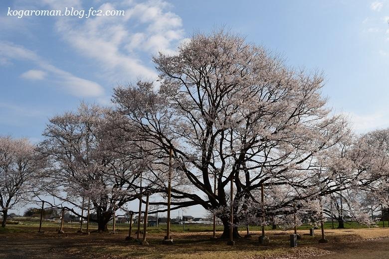 天平の丘公園の淡墨桜7