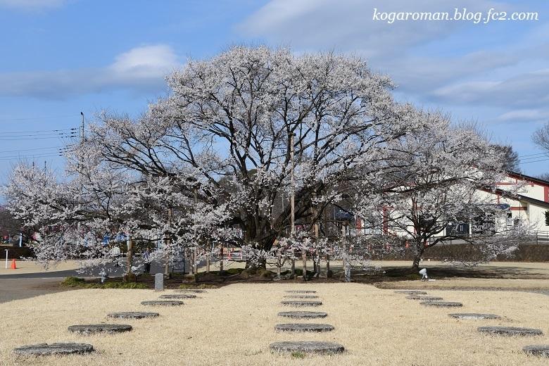 天平の丘公園の淡墨桜5