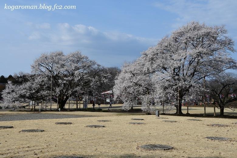天平の丘公園の淡墨桜6