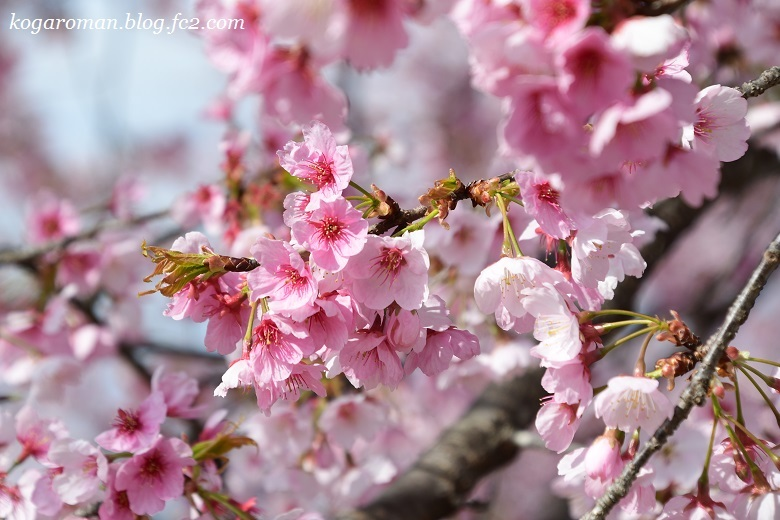 天平の丘公園の桜2