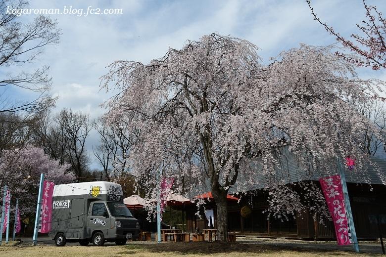 天平の丘公園の桜5