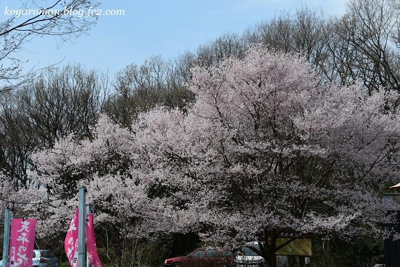 天平の丘公園の桜6
