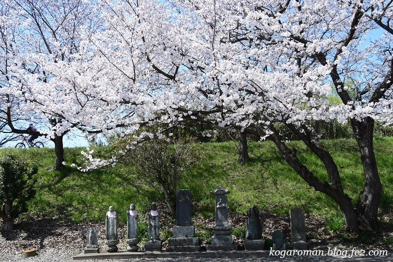 柳生の堤桜