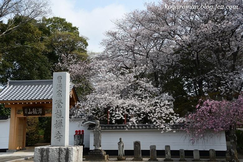繁桂寺の桜