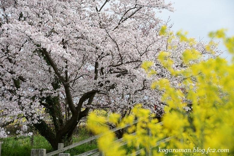 なまいふるさと公園の桜2