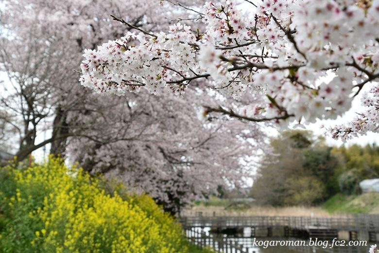 なまいふるさと公園の桜