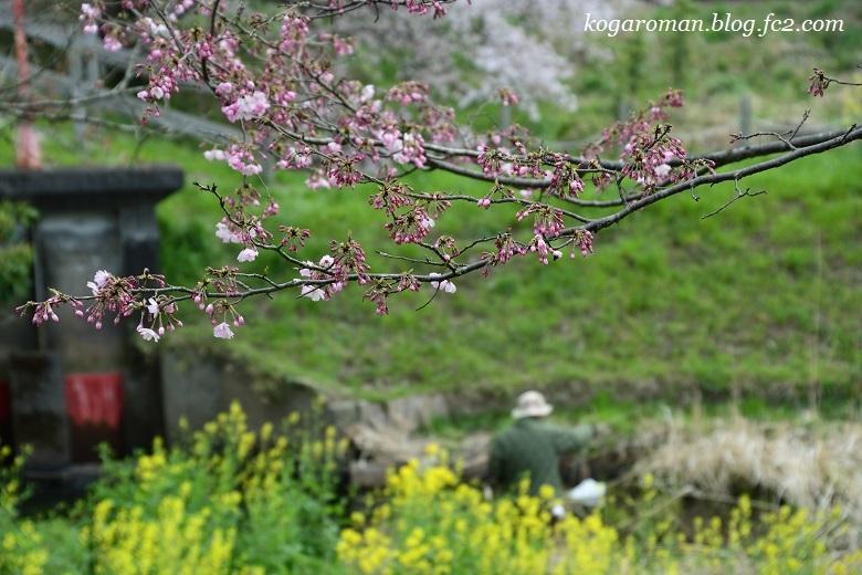 なまいふるさと公園の桜3