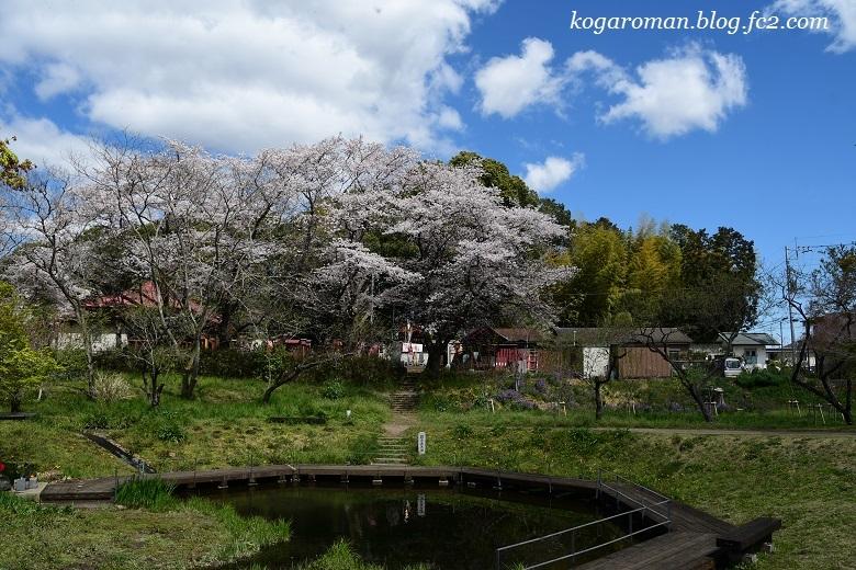 古河総合公園の花桃と桜