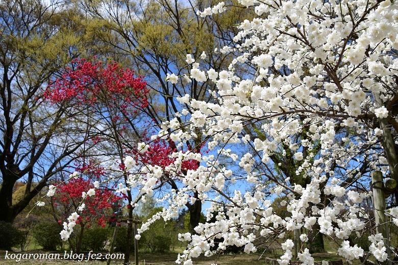 古河総合公園の花桃と桜2