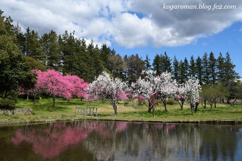 古河総合公園の花桃と桜3