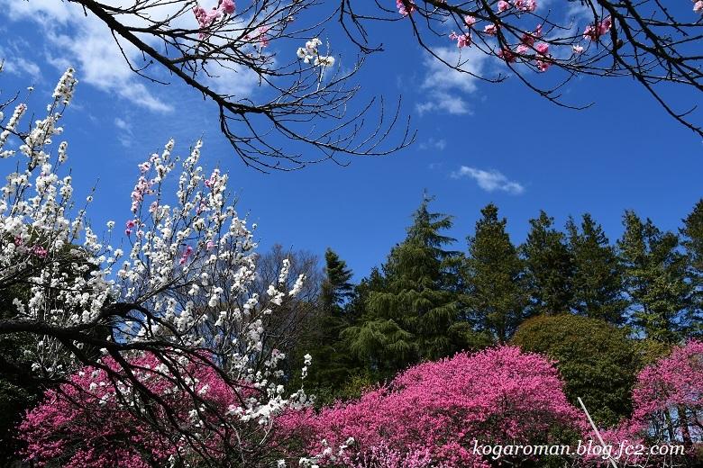 古河総合公園の花桃と桜4