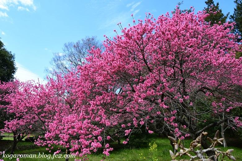古河総合公園の花桃と桜5