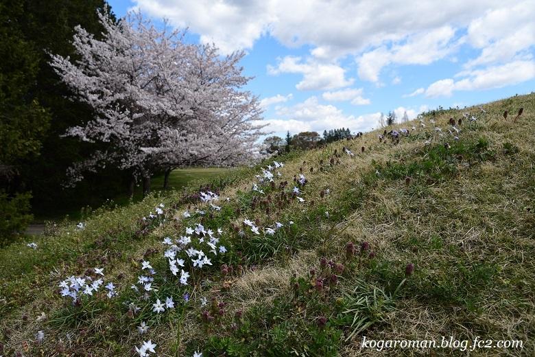 古河総合公園の花桃と桜6