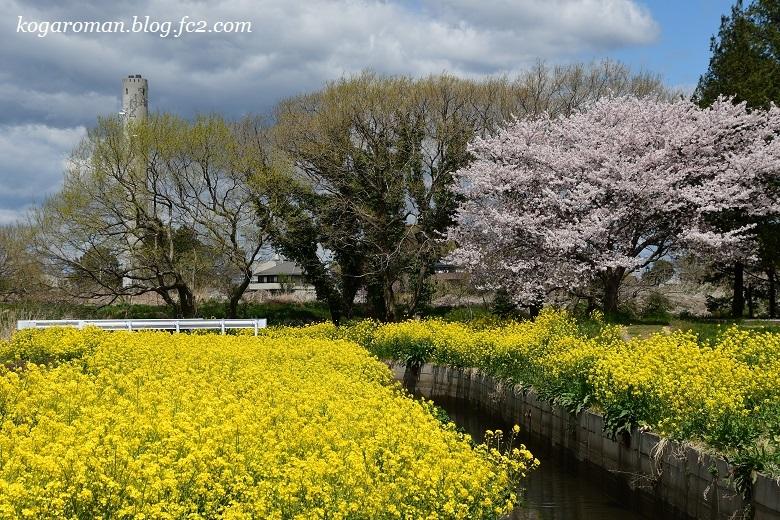 古河総合公園の花桃と桜8