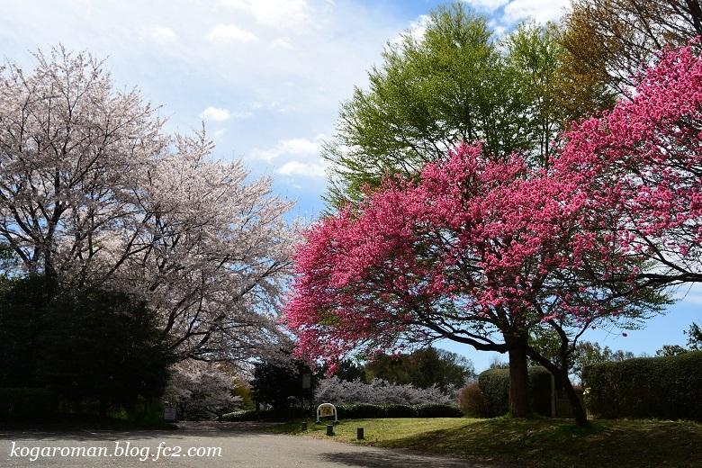 古河総合公園の花桃と桜10