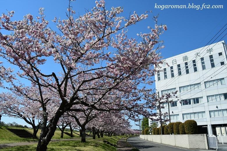 小山の思川桜