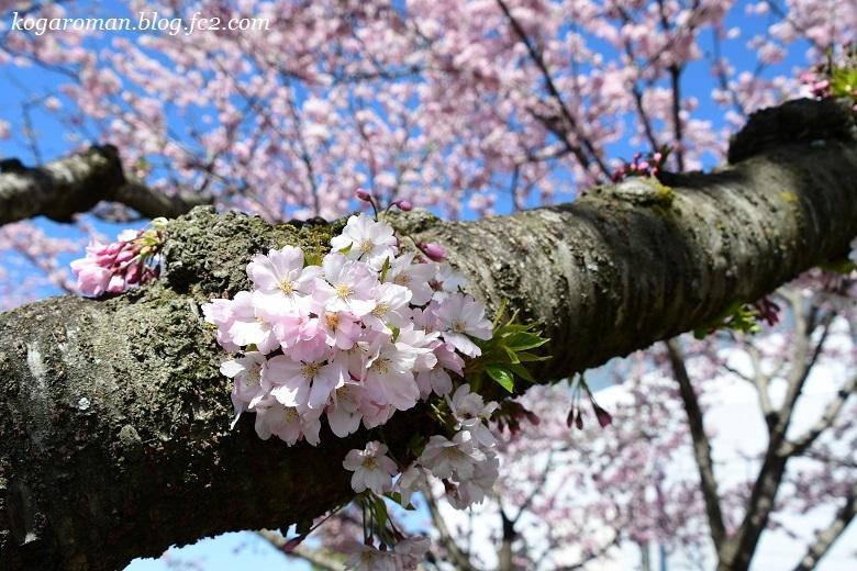 小山の思川桜2