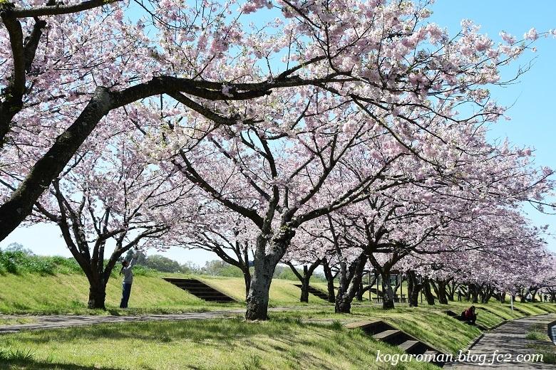 小山の思川桜4
