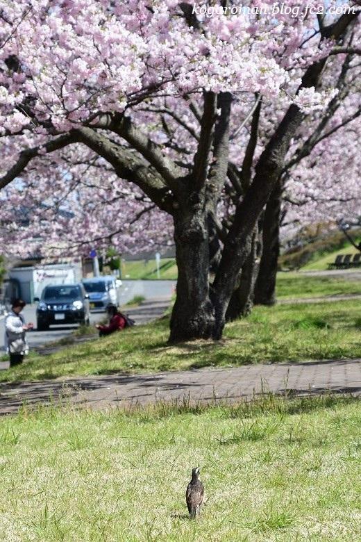 小山の思川桜6