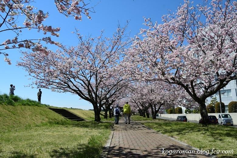 小山の思川桜5