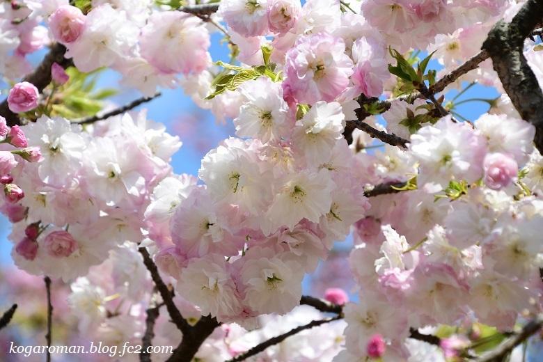 結城農場の桜2